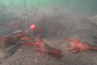 The crayfish can be a menace