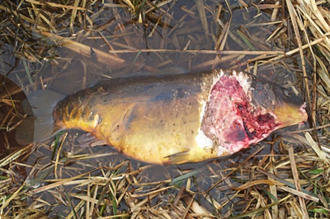 Angling and wildlife groups secure first otter removal for What does carp mean